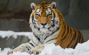 Picture look, snow, The Amur tiger, leisure