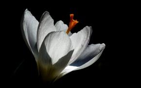 Picture macro, flowers, spring, contrast, Krokus