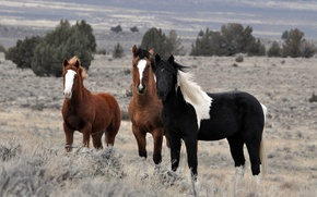 Picture field, animals, the sky, trees, nature, horses, horse, stallions, the herd