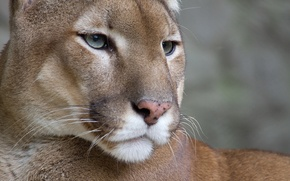 Wallpaper mustache, look, face, Wallpaper, Puma, mountain lion, Cougar