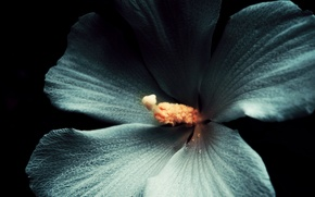 Picture white, flower, macro, the dark background, Hibiscus