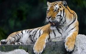 Picture tiger, stay, predator