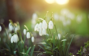 Picture greens, forest, grass, light, flowers, nature, spring, snowdrops, white