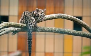 Picture predator, cub, wild cat, zoo, clouded leopard