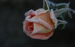 Wallpaper cold, frost, flower, macro, flowers, nature, background, Wallpaper, rose, plant, garden, frost