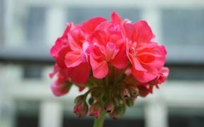 Picture flower, macro, flowers, pink, flower, photo, macro, walpappers