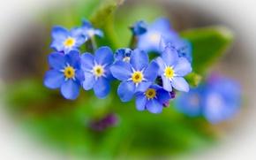 Picture flowers, nature, plants, forget-me-nots