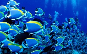 Wallpaper Cant, Blue Tang, The ocean