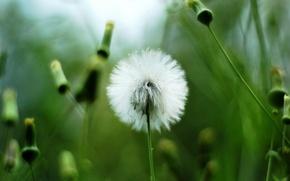 Wallpaper greens, white, dandelion, plant