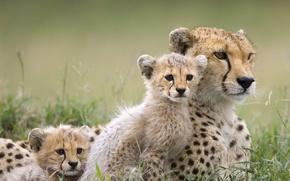 Wallpaper predator, kittens, wild cats, CHEETAH