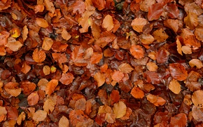 Picture autumn, leaves, macro, a lot