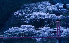 Picture trees, bridge, spring, the evening, Japan, Sakura, slope, flowering