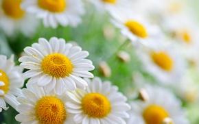 Wallpaper bokeh, chamomile, petals, pollen