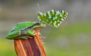 Picture frog, butterfly, freedom, crwon