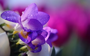 Wallpaper nature, tender, Purple Freesia, flower, freesia, Li Feng, flower, drops, water, water, nature, drops