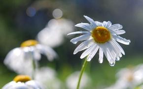 Picture drops, macro, Rosa, petals, Daisy