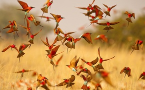 Picture flight, birds, bright, wings, pack, bee-eaters, the bee-eaters