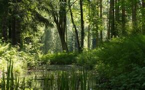 Picture forest, summer, pond, deevia, Pavlovsk