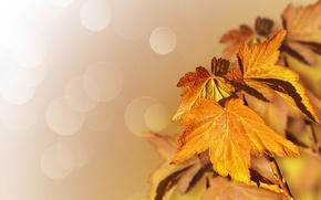 Picture autumn, leaves, nature, tree, maple, bokeh, Larisa Koshkina
