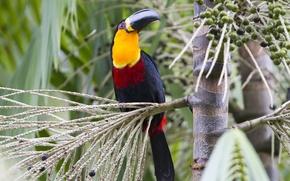 Picture Red, Black, Yellow, Bird, Beak, Eye, Acai, Tucano