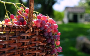 Picture the sun, berries, basket, grapes