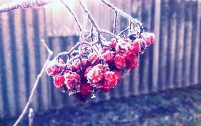 Picture Macro, Nature, beautiful, Frost, Rowan