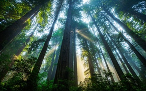 Wallpaper forest, the sun, light, trees, CA, USA, Sequoia, Redwood national Park