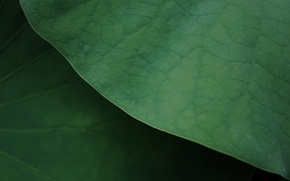 Picture green, leaves, macro