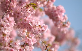 Picture branch, the sky, pink flowers, spring