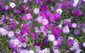 Picture flowers, Summer, colorful, a riot of colors, Petunia