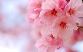 Picture macro, cherry, Sakura, flowering, flowers