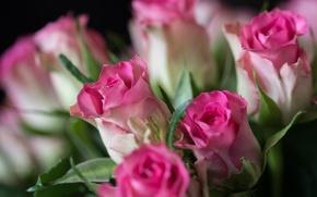 Wallpaper buds, roses, bouquet, bokeh