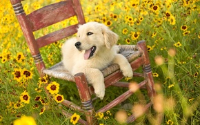 Wallpaper GLADE, FIELD, YELLOW, FLOWERS, PUPPY, CHAIR, LANGUAGE