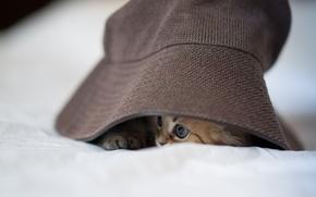 Picture cat, kitty, hat, Panama, Daisy, Ben Torode, hid