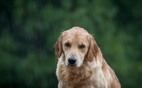 Picture look, each, rain, dog