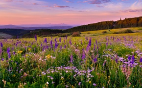 Picture flowers, meadow, Colorado, Colorado, White River Plateau