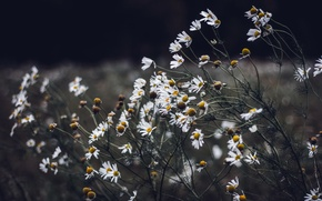 Picture autumn, flowers, chamomile