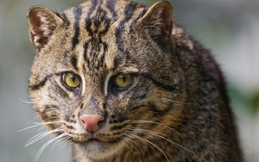 Picture cat, cat, look, face, ©Tambako The Jaguar, fishing cat, kot Rybolov, angler