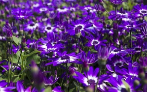 Picture a lot, osteospermum, African Daisy