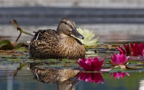 Picture water lilies, lake, duck, leaves