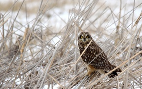Picture winter, grass, snow, owl, bird, dry