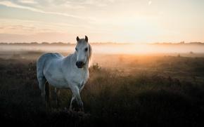 Picture summer, nature, fog, horse