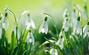 Picture flowers, nature, spring, snowdrops