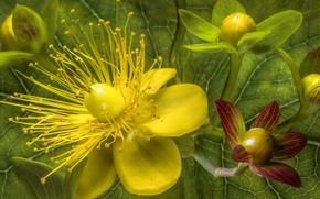 Picture macro, petals, stamens, St. John's wort