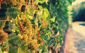 Picture light, grapes, vineyard, bokeh, vine