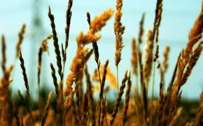 Wallpaper grain, ear, field