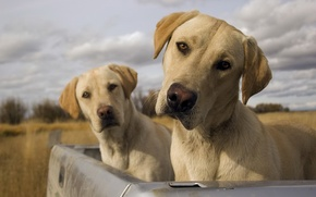 Picture dogs, the sky, clouds, the trunk, dogs, Labradors, Gemini