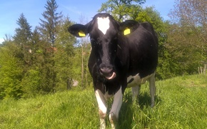 Picture green, white, grass, black, trees, animal, meadow, switzerland, tongue, cow