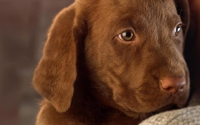 Wallpaper dog, puppy, Labrador, chocolate