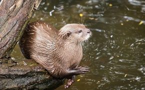 Picture pose, legs, predator, muzzle, log, pond, otter